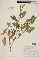 Solanum dasyadenium image