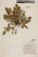 Solanum demissum image