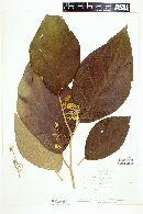 Solanum hayesii image