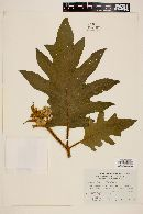 Solanum chrysotrichum image