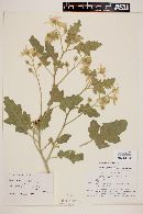 Solanum johnstonii image