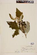 Image of Solanum laurifolium