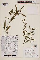 Solanum persicifolium image