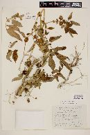 Solanum polyadenium image