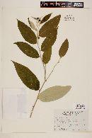 Image of Solanum salviaefolium