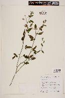 Solanum tenuilobatum image