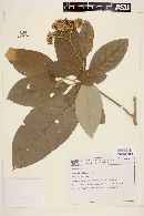 Image of Solanum bullatum