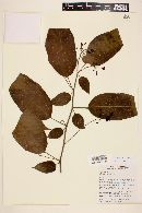 Solanum calidum image