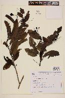 Image of Solanum campaniforme