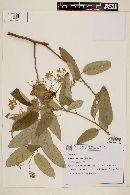 Image of Solanum cinnamomeum