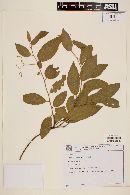 Image of Solanum cladotrichum