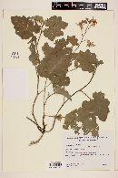Image of Solanum comptum