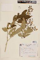 Image of Solanum concinnum