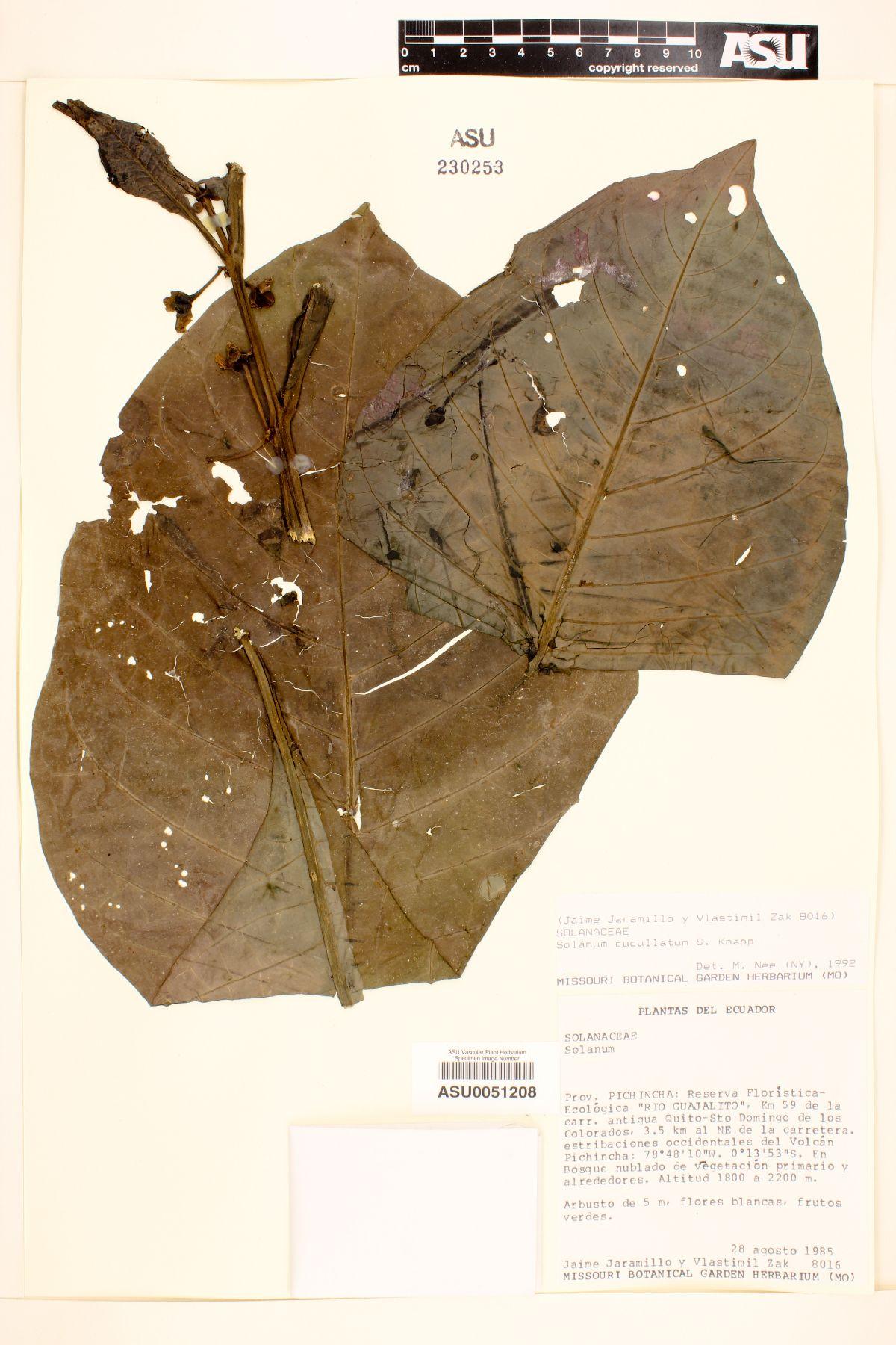 Solanum cucullatum image