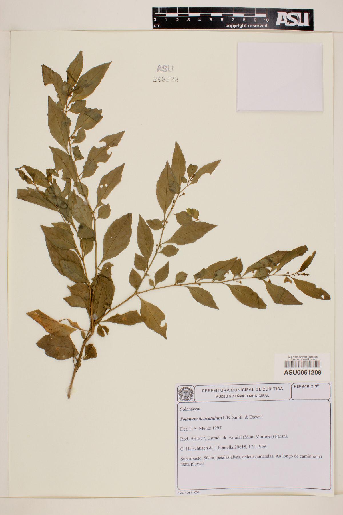 Solanum delicatulum image