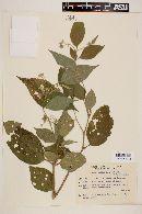 Image of Solanum gemellum