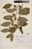 Solanum gertii image