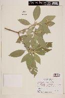 Solanum granuloso-leprosum image