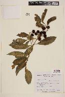 Image of Solanum pseudoquina