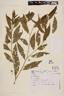 Image of Solanum johannae