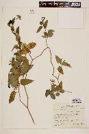 Solanum laxum image