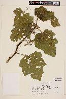 Solanum palinacanthum image