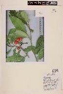 Image of Solanum pedemontanum