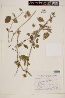 Image of Solanum physalidicalyx