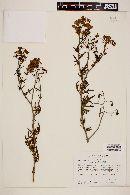 Image of Solanum pinnatum