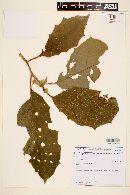 Image of Solanum polytrichum