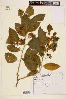 Solanum reitzii image