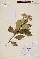 Image of Solanum riparium