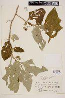 Solanum robustum image