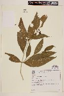Image of Solanum schwackei