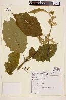 Solanum scuticum image