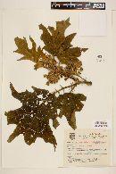 Image of Solanum setosissimum