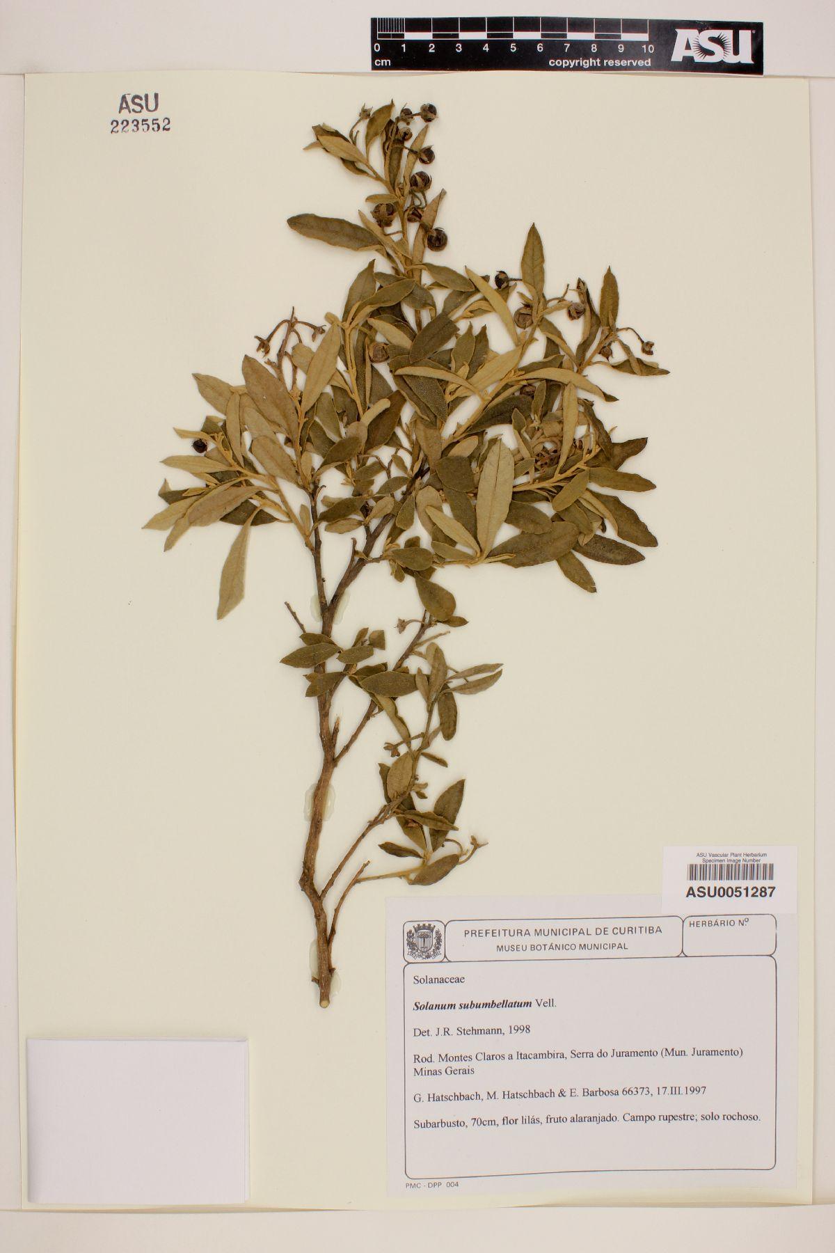 Solanum subumbellatum image