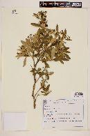 Image of Solanum subumbellatum