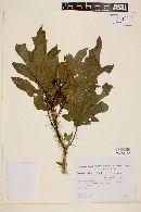 Solanum vaillantii image
