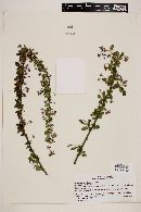 Image of Solanum valdiviense