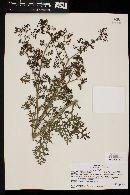 Image of Solanum brachyantherum