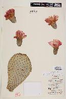 Opuntia basilaris image
