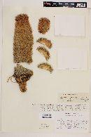 Image of Coryphantha chihuahuensis