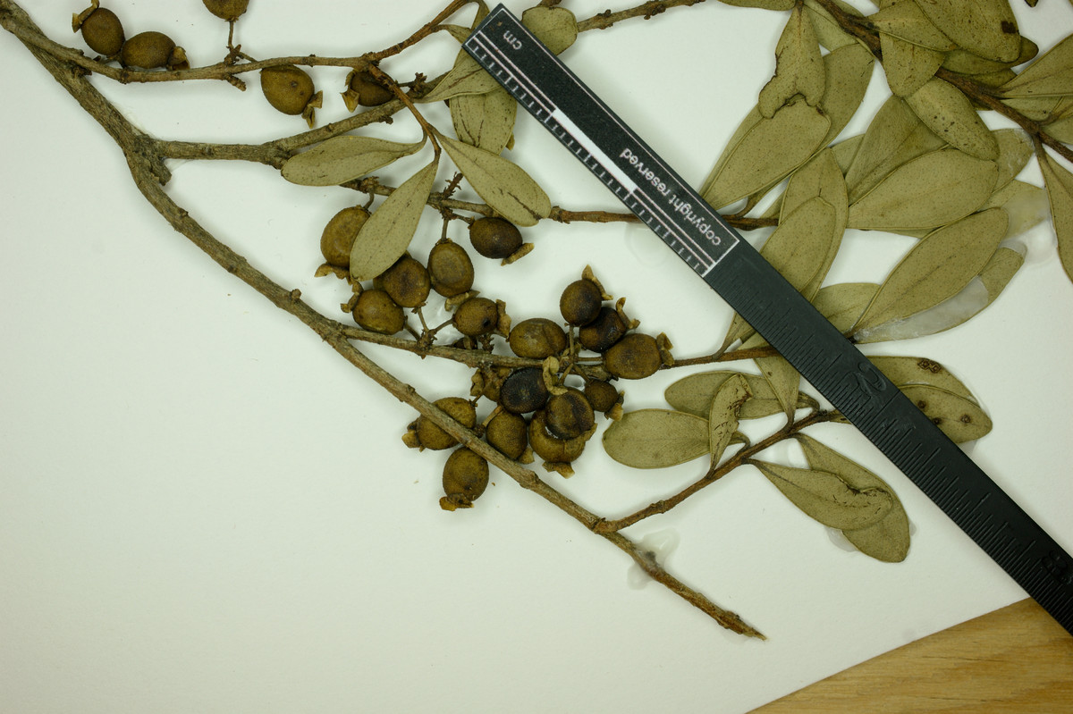 Eugenia dimorpha image