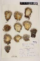 Image of Mammillaria grusonii