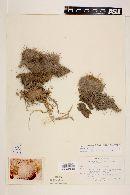 Image of Mammillaria muehlenpfordtii