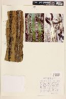 Stenocereus montanus image