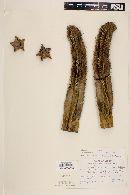 Stenocereus marginatus image