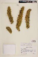 Image of Austrocylindropuntia cylindrica