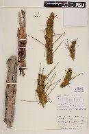 Austrocylindropuntia subulata image